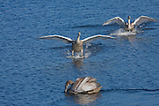 For birds that are so graceful in the air and when in the water, swans are pretty graceless when landing and taking off. The juvenile swan in the foreground seems oblivious to the two landing, despite the commotion.