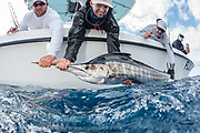 Sportfishermen release an Atlantic Sailfish, Istiophorus albicans, offshore Juno Beach, Florida, United States during a fishing charter.