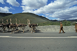 Ostriches On Road With Ostrich Hearder