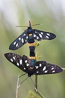 Nine-spotted Moth (Syntomis phegea), copulation, San Marino.