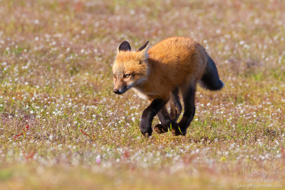 A young red fox kit (Vulpes vulpes) runs across a field in the San Juan Island National Historical Park in Washington state. Red foxes were introduced to San Juan Island in the early 1900s in an attempt to control the population of European rabbits, which were also introduced to the island.