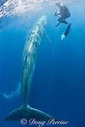 Bryde's whale, Balaenoptera brydei or Balaenoptera edeni, swims past underwater photographer Brandon Cole, off Baja California, Mexico ( Eastern Pacific Ocean ) MR 399 (dm)