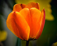 Orange Tulip flower. Image taken with a Fuji X-T2 camera and 100-400 mm OIS lens (ISO 200, 100 mm, f/6.4, 1/550 sec).