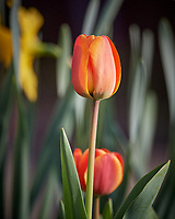 Tulip Bloom. Image taken with a Nikon D5 camera and 600 mm f/4 VR lens.