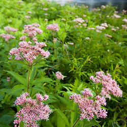 Joe-pye weed (a.k.a. Trumpetweed,) Eupatorium fistulosum, on the banks of the West River in Jamaica, Vermont.