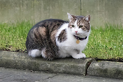 Downing Street, London, January 31 2017. Larry the Downing Street cat enjoys the cool morning air.