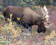 Alaskan bull moose paws the ground in a display of dominance.