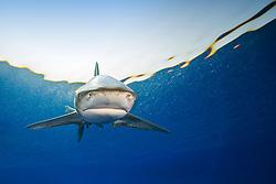 oceanic whitetip shark, Carcharhinus longimanus, threatened spcecies, Kona Coast, Big Island, Hawaii, Pacific Ocean
