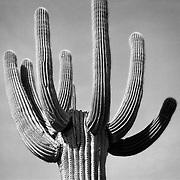 Saguaro Cactus near Tucson Arizona USA