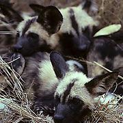 African Wild or Cape Hunting Dog, (Lycaon pictus) Portrait of pups huddled together. Kruger National Park. South Africa.