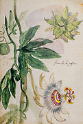 Passiflora caerulea, the blue passionflower, bluecrown passionflower or common passion flower and vine, on paper by Nicolas Robert from Sketchbook B at the Jardin Du Roi, Paris c 1650