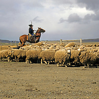 South America, Chile, Patagonia. A rancher on horseback wrangles sheep in Patagonia.