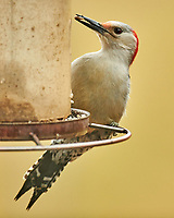 Red-bellied Woodpecker (Melanerpes carolinus). Image taken with a Nikon D850 camera and 600 mm f/4 VR lens.