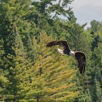 A Bald Eagle (Haliaeetus leucocephalus) over Lake of the Woods, Ontario, Canada.