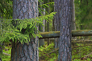 Pines, Pinus silvestris, in old mixed conifer and broadleaf forest in the Punia forest reserve, not logged or hunted in for more than 70 years, Lithuania