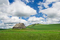 Old weathered barn set amidst the rolling hills of green wheat fields, the Palouse region of the Inland Empire of Washington