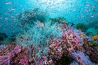 Black and Soft Corals with Reef Fish<br /> <br /> shot in Indonesia