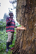 A man from Buhoma Village on the edge of Bwindi Impenetrable forest, Uganda. He's axing a tree down by hand to do some building work on his home. It takes him an hour before it falls.