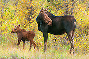 Moose cow and calf in willow thickets in Grand Teton National Park.