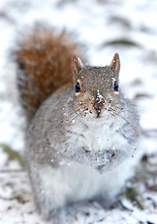 © under license to London News Pictures.  17 Dec 2010.  A squirrel gets it's whiskers covered in snow in St James Park. A snowy scene across Horseguards today (Fri) in central London. Picture credit should read Alison Baskerville/London News Pictures