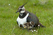 Lapwing, Vanellus vanellus, Elmley National Nature Reserve, UK, brooding young, grazing marsh, adult, young, spring, chick, caring, nurturing, fluffy, cute