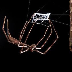 Esta aranha tinha a teia bem iluminada, que atraia os insetos para perto na Rebio de Duas Bocas, em Cariacica.