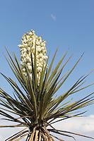 Torrey Yucca,  (yucca treculeana) at Big Bend Ranch State Park, Texas
