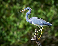 Tricolored Heron. Biolab Road, Merritt Island National Wildlife Refuge. Image taken with a Nikon Df camera and 300 mm f/4 lens (ISO 100, 300 mm, f/4, 1/1000 sec).