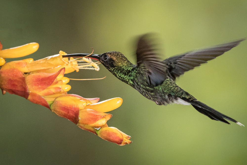 Phaethornis yaruqui, Ecuador