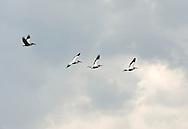 Dalmatian pelicans (Pelicanus crispus) in flight. Lake Skadar National Park, Montenegro © Rudolf Abraham