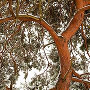 Scots pine tree (pinus sylvestris) detail with snow, Livradois-Forez Regional Natural Park, Auvergne, France