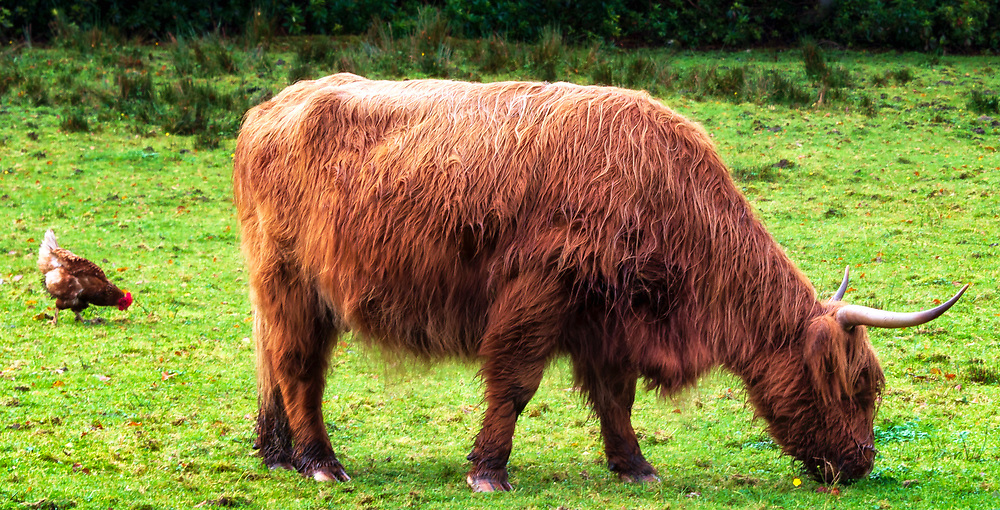 A highland cow and companion. This breed appeared in the British Isles around 600 AD and prospered in difficult environments, shedding water from thick coats and retaining heat. Utterly oblivious to car horns if found suspending a road crossing in mid operation.