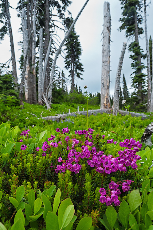 Pink Mountain-heather blooming at Paradise, Mt. Rainier National Park.