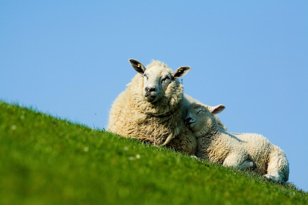 25.04.2009<br /> Sheep<br /> Westerhever, Germany