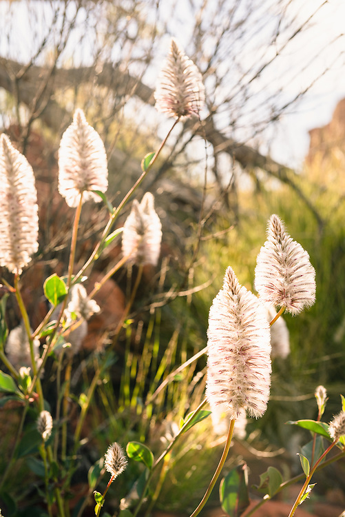Pink Pussy Tail flowers growing at Kings Canyon