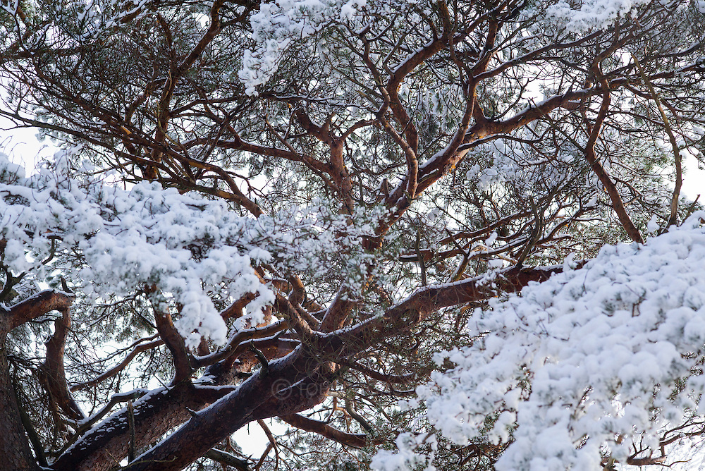 A large and ancient pine tree lit by gentle dawn sun appears to have large clumps of blossom made from fresh snow.
