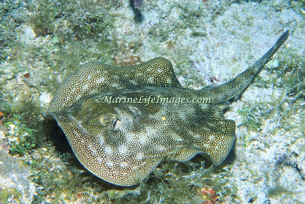 Yellow Stingray inhabit sandy areas near reefs in Tropical West Atlantic; picture taken Roatan, Honduras.