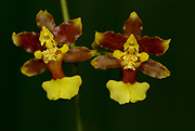 Orchid, Oncidium, rainforest, Costa Rica, red and yellow colour