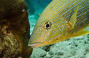 Bluestriped Grunt (Haemulon sciurus)<br /> BONAIRE, Netherlands Antilles, Caribbean<br /> HABITAT & DISTRIBUTION: Protected reefs and drop-offs.<br /> Florida, Bahamas, Caribbean, Gulf of Mexico & Bermuda.