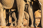 A breeding herd of desert elephants tenderly touching and fondling a young calf (Loxodonta africana cyclotis) in the sandy Hoanib river bed, Skeleton Coast, Namibia