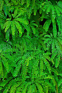 Maidenhair Fern Adiantum pedantum, Mount Rainier National Park, Washington, USA