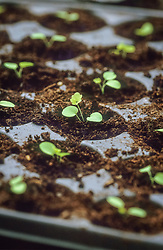 Pricking out germinated seedlings into modular seed tray - Aquilegia vulgaris 'Aurea' <br /> Placing into individual modules
