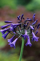 Agapanthus 'Purple Cloud' - African blue lily