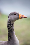 Grey-legged goose - Anser anser - at Slimbridge Wildfowl and Wetlands Centre, England, UK