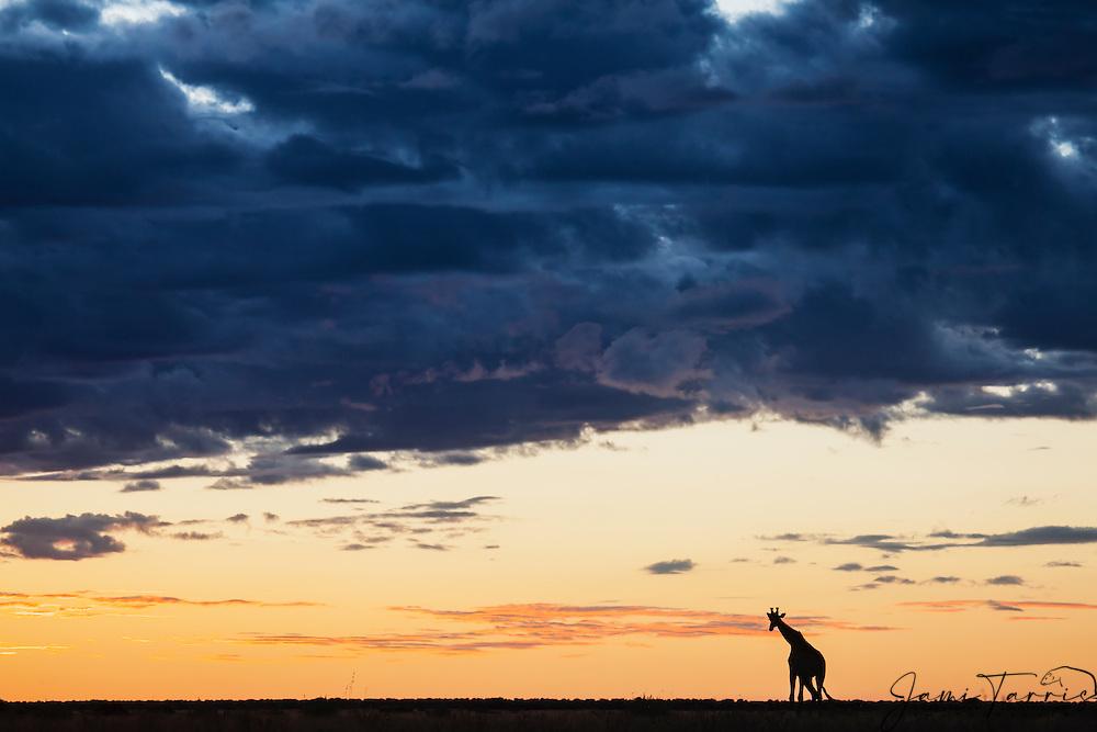 A southern giraffe (giraffa camelopardalis) walking backlit against a Kalahari sunset in the wet season , Kalahari, Botswana, Africa
