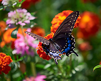Spicebush Swallowtail Butterfly. Image taken with a Nikon D810a camera and 70-300 mm VR lens.