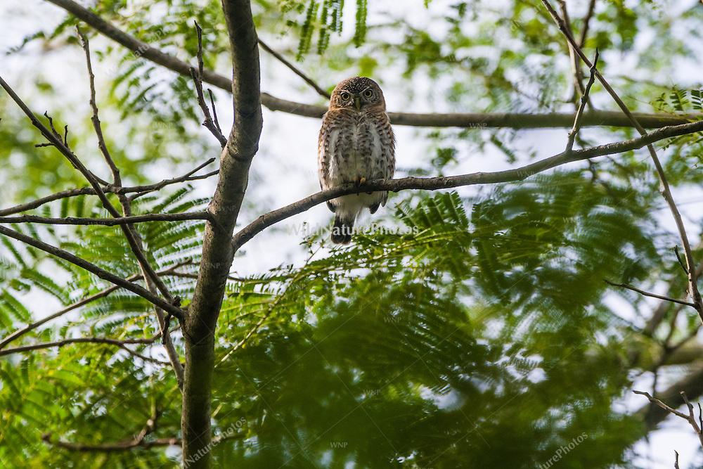 A Cuban Pigmy Owl (Glaucidium siju), perched in a tree in early morning. Najasa, Cuba.