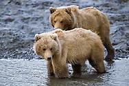 Young Alaskan brown bear siblings at edge of stream, McNeil River State Game Sanctuary, Alaska, © David A. Ponton