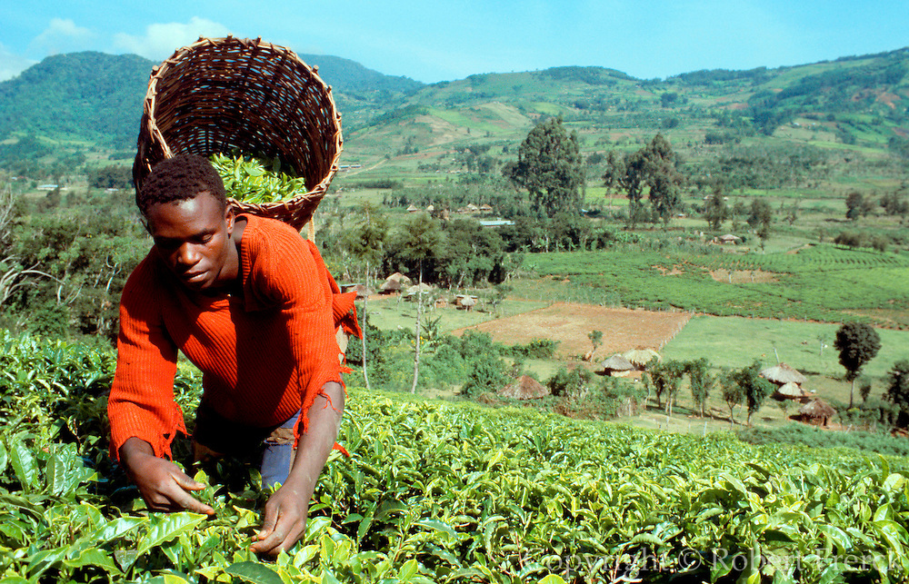 KENYA, AGRICULTURE a Kikuyu farm worker picking tea leaves  on a tea plantation near Maua in the  Kenyan highlands