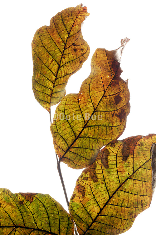 color changing leaves on a twig